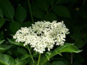 bez 300x225 - Znaczenie kwiatów - znaczenie kolorów i ich symbolika
