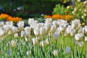 biale tulipany 300x200 - Znaczenie kwiatów - znaczenie kolorów i ich symbolika