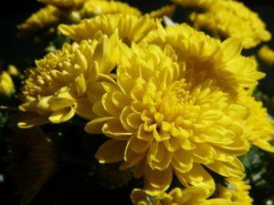 chryzantemy zlociste 300x225 - Znaczenie kwiatów - znaczenie kolorów i ich symbolika