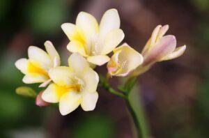frezja - białe kwiaty