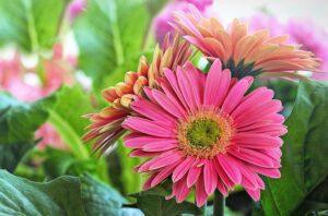 gerbery 300x198 - Znaczenie kwiatów - znaczenie kolorów i ich symbolika