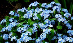niezapominajki - znaczenie kwiatów