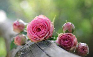 różowe róże - kwiaty
