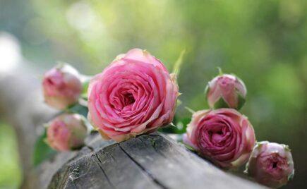 róże - znaczenie kwiatów