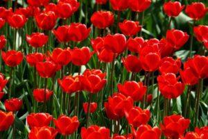 symbolika kwiatów tulipanów tulipany