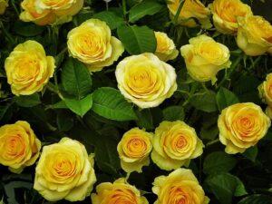 zolte roze 300x225 - Znaczenie kwiatów - znaczenie kolorów i ich symbolika